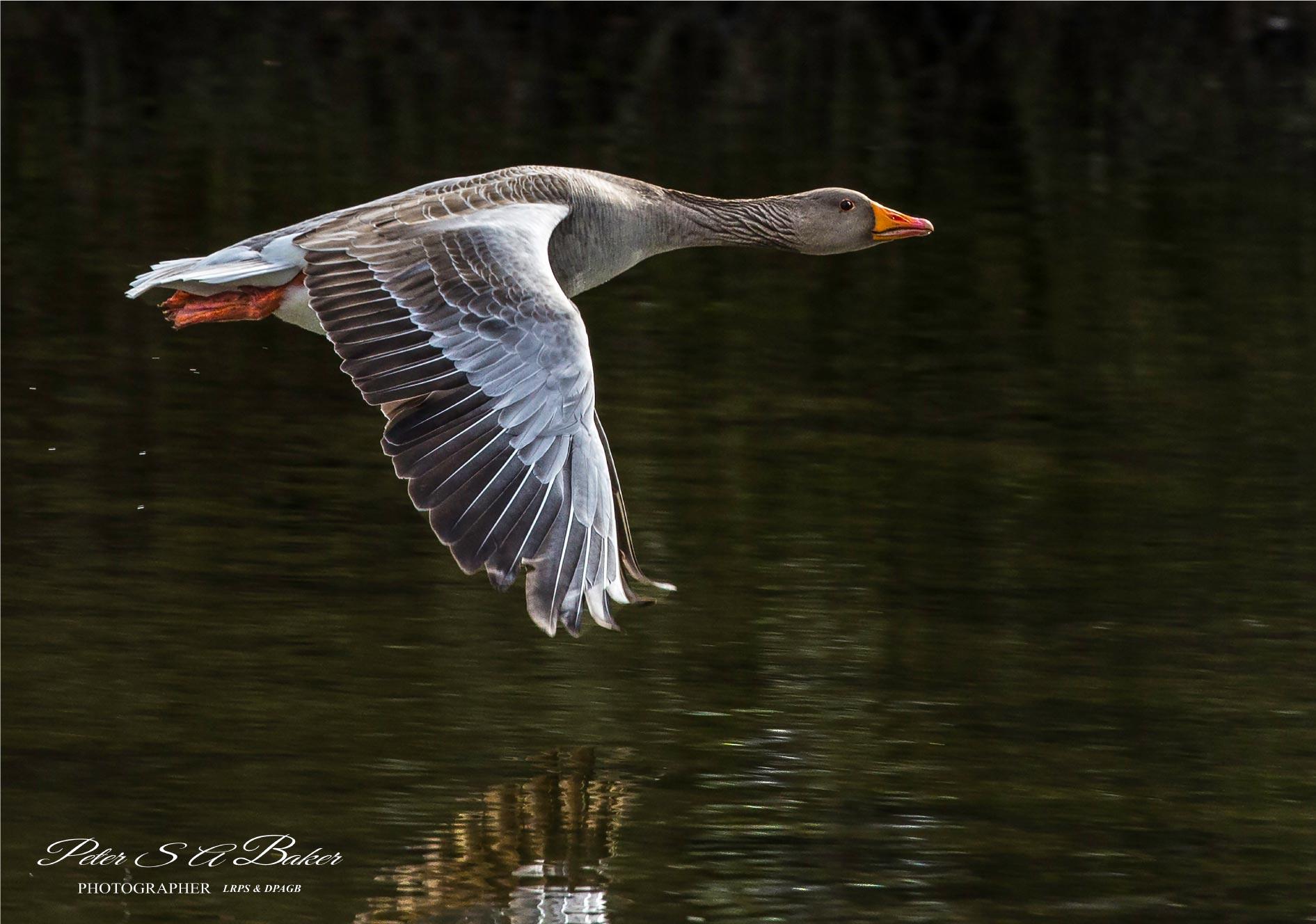 Greylag-Goose-in-Flight