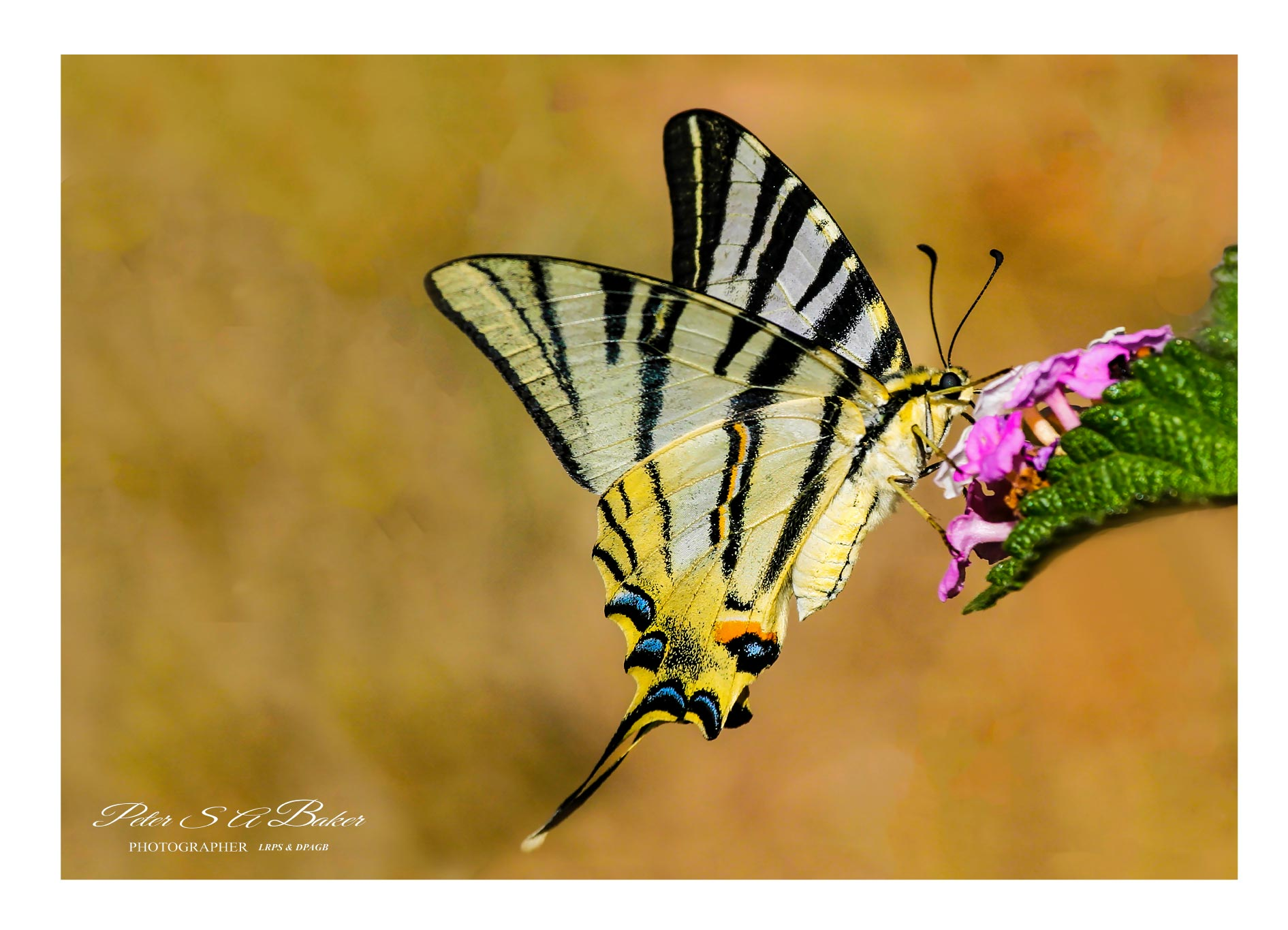 Swallowtail-Butterfly